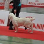 "Glitter Desire of Deep Dreamer's ""Paige"", Best Puppy Golden, San Remo (Italie), mai 2012."