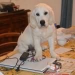 Piper, bien élevée sur la table, 4 mois